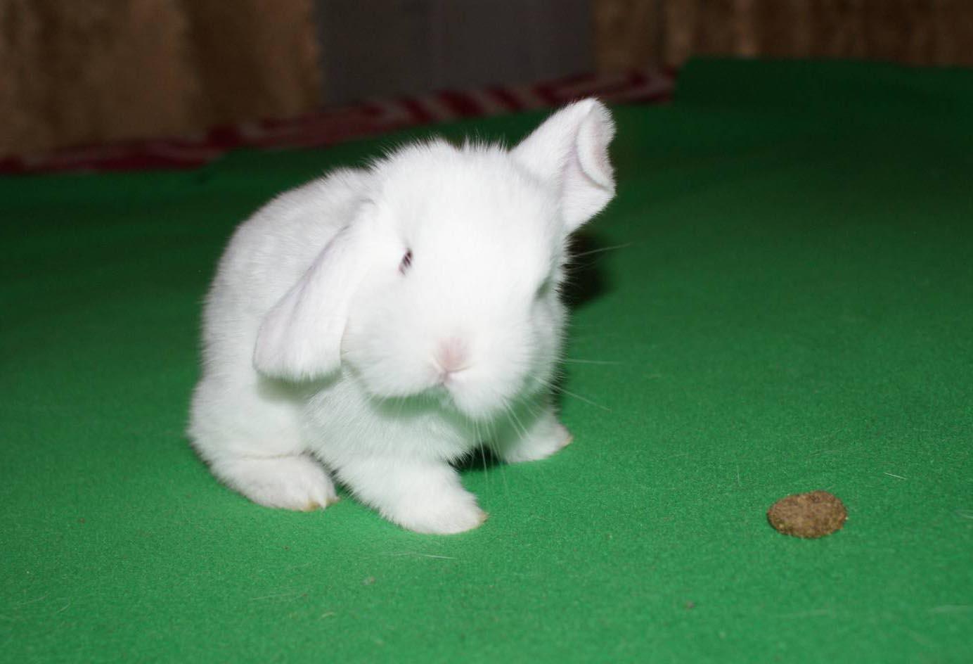 Чем кормить декоративного кролика в домашних условиях 39